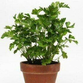 Parsley, Flat, Italian Large Leaf