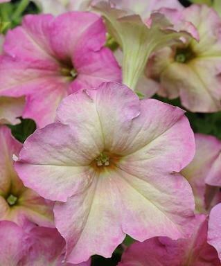 Petunia, Multiflora, Sophistica Antique Shades