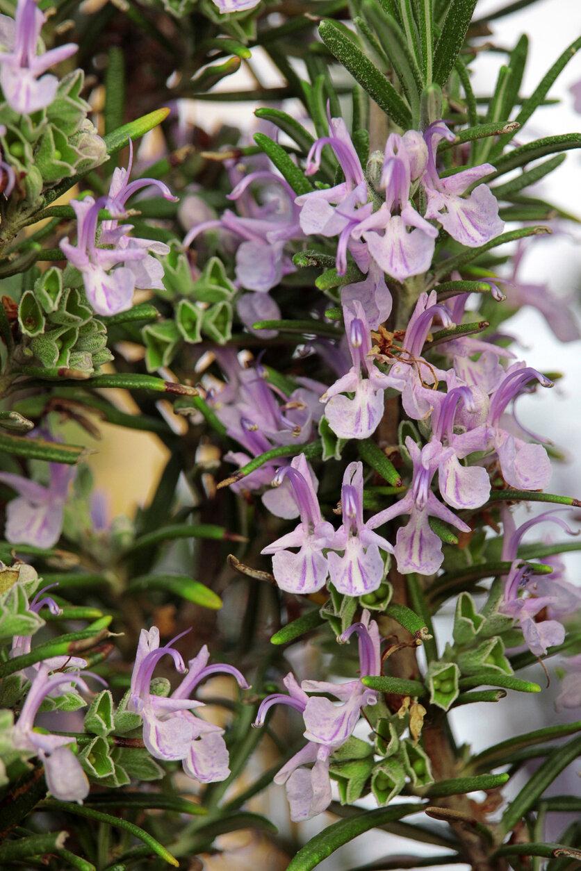 Rosemary, Majorica Pink