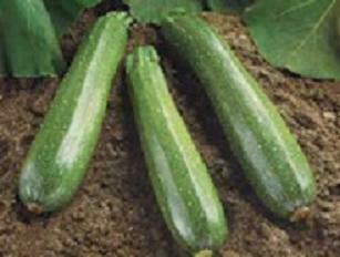 Squash, Zucchini, Spineless Beauty