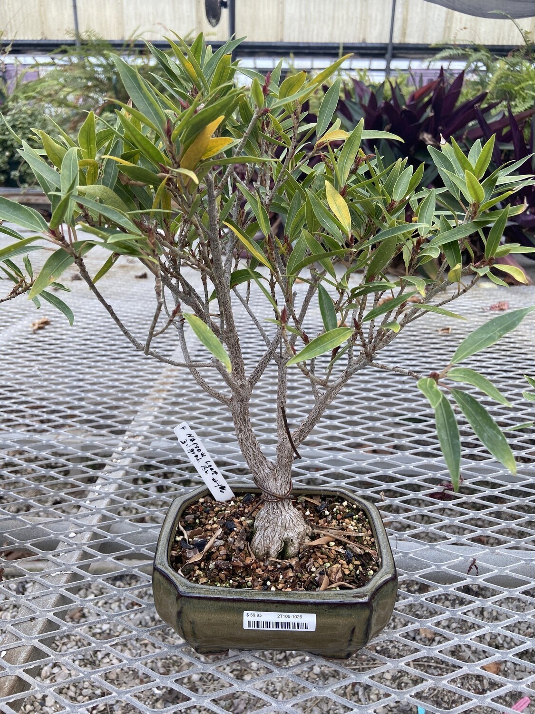 Ficus, Narrow Leaf