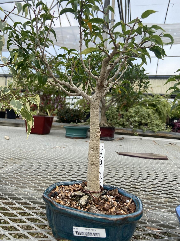 Ficus, Too Little