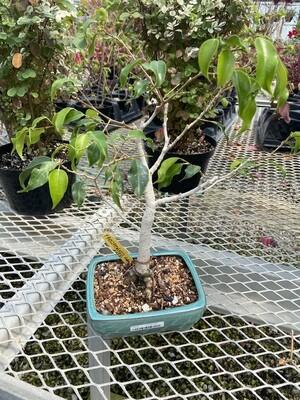 Ficus Philippinensis
