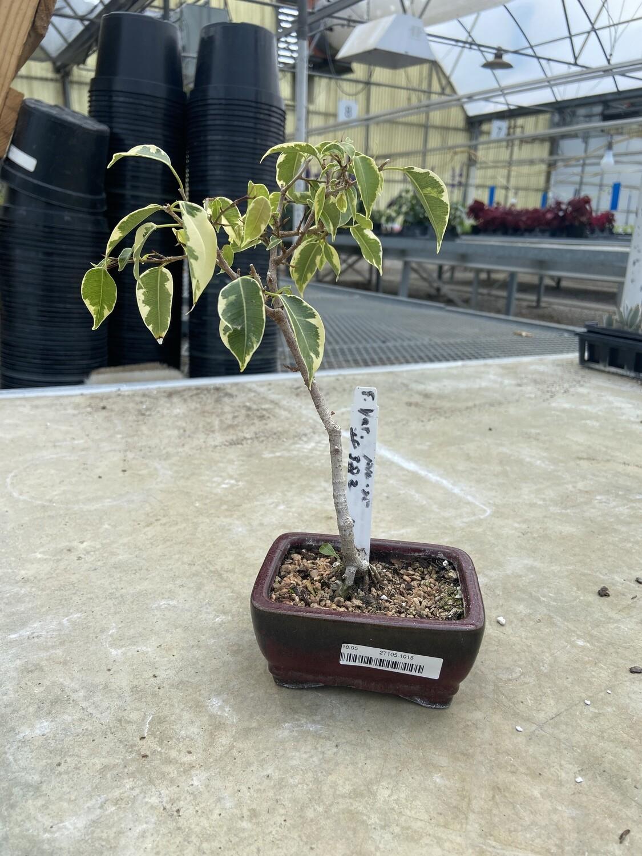 Ficus benjamina, Variegated