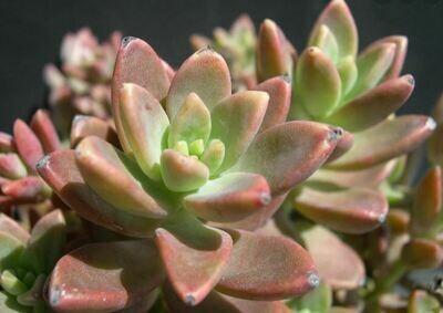 Succulent, Graptosedum 'Alpenglow'