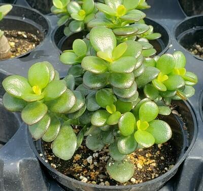Succulent, Jade, Mini