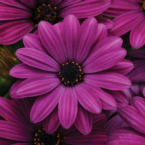African Daisy, 'Akila Purple'