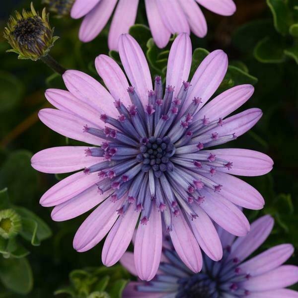 African Daisy, 4D™ Pink