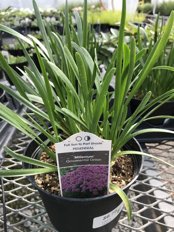 Allium, 'Millenium'