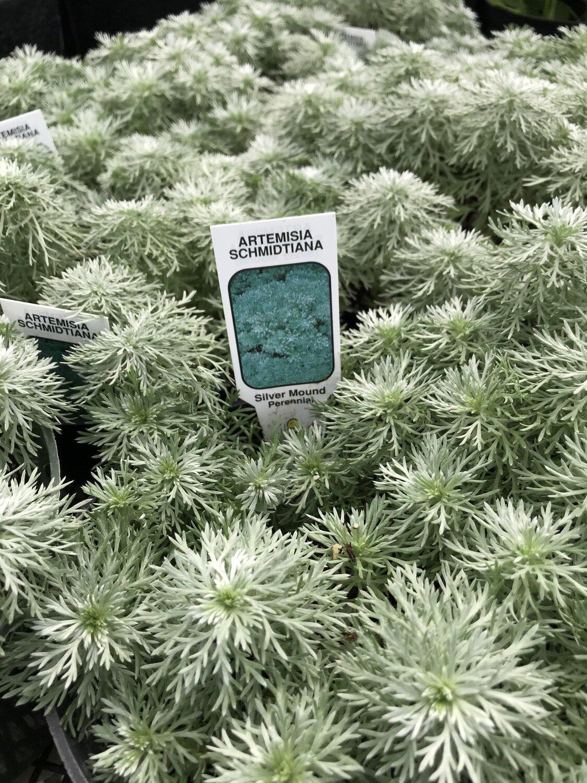 Artemisia, 'Silver Mound'