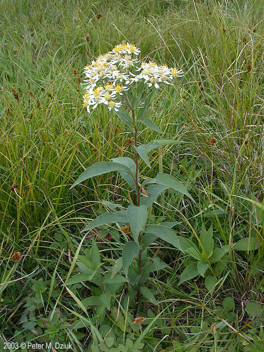 Aster, Flat-topped White