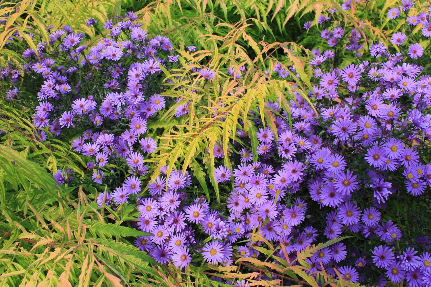 Aster, Smooth Blue