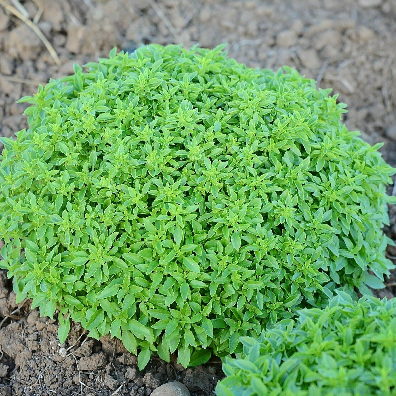 Basil, 'Finissimo Verde a Palla'