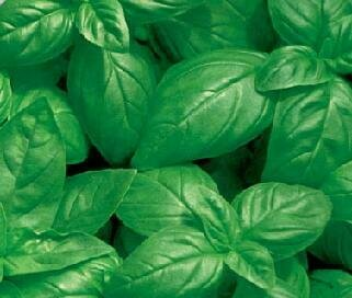 Basil, 'Italian Sweet Large Leaf'