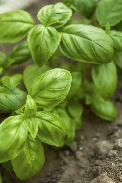Basil, 'Sweet Leaf'