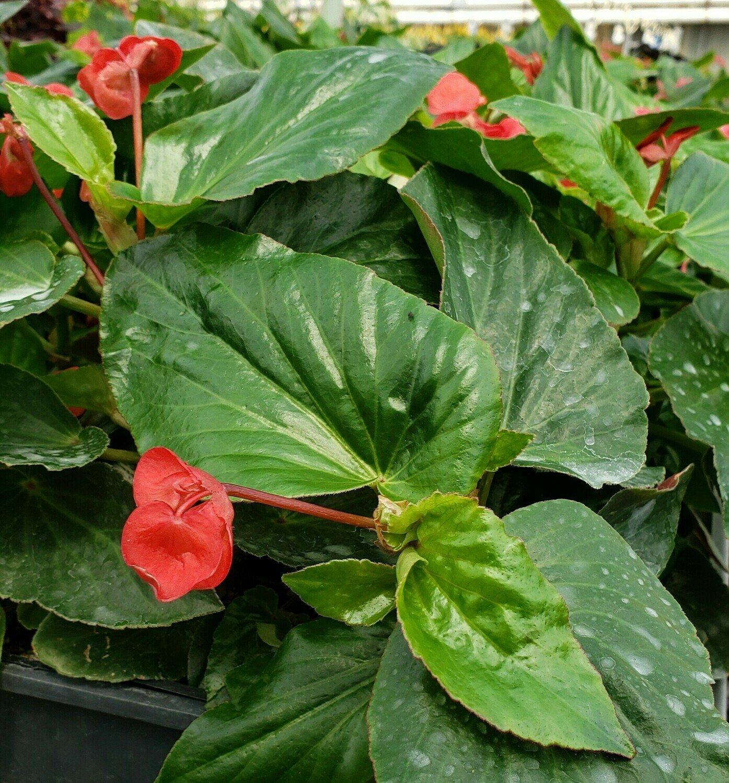 Begonia, Angelwing, Dragon Wing® Red