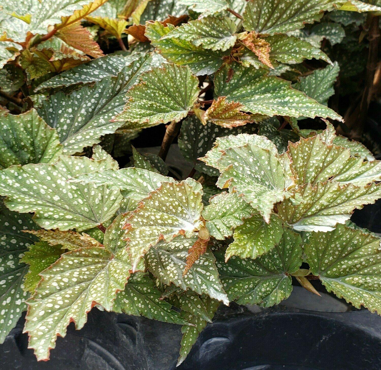 Begonia, Shrub-like, 'Aerial' (Dotted)