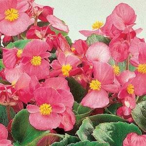 Begonia, Wax, 'Ambassador Pink'