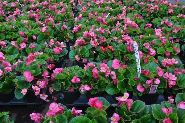 Begonia, Wax, Bada Bing® Rose