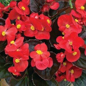 Begonia, Wax, Bada Boom® Scarlet