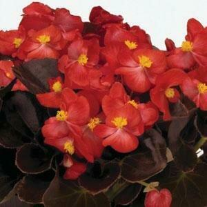 Begonia, Wax, 'Nightlife Red'