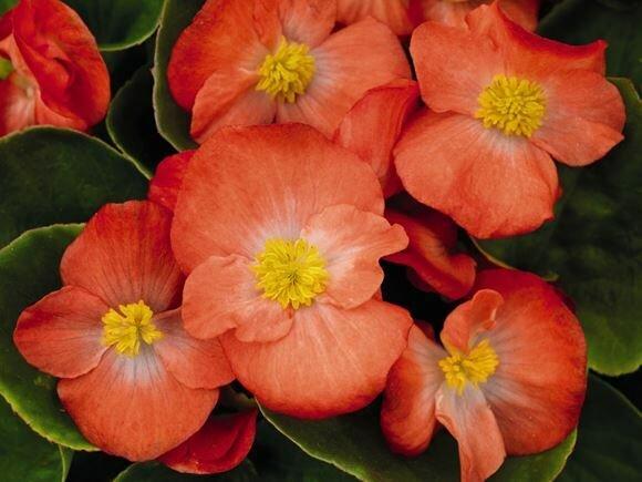 Begonia, Wax, 'Spring Orange Bicolor'