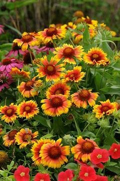 Blanket Flower, 'Arizona Apricot'