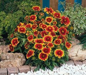 Blanket Flower, 'Arizona Sun'