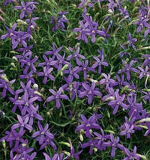 Blue Star Creeper, Avante-Garde Violet™
