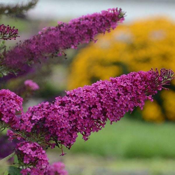 Butterfly Bush, Monarch® Queen of Hearts