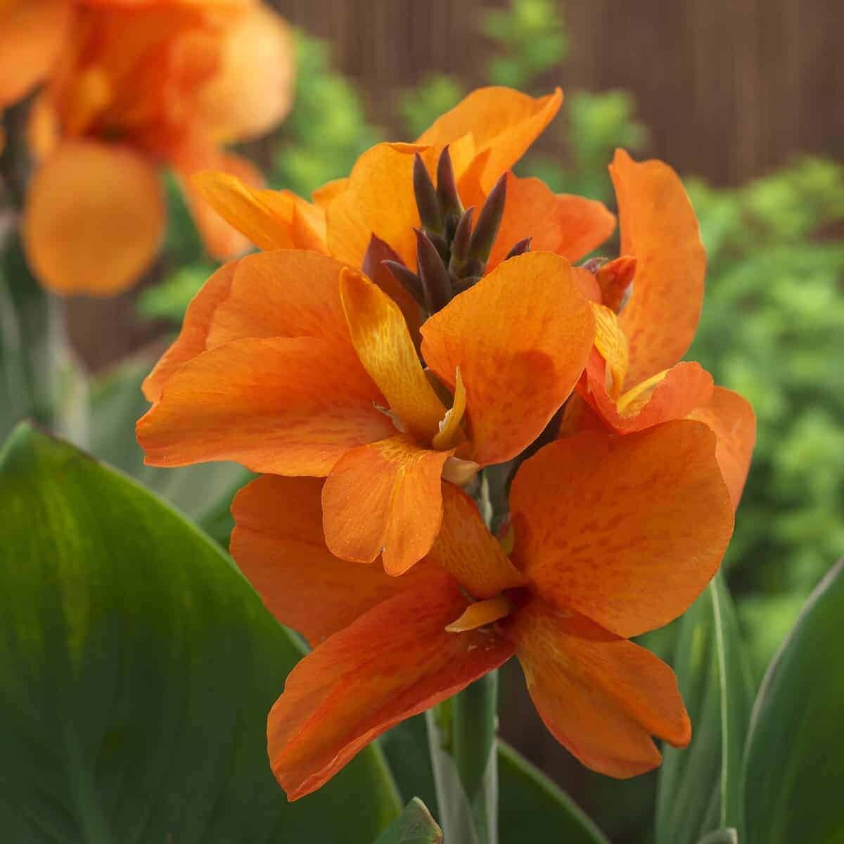 Canna, 'South Pacific Orange'