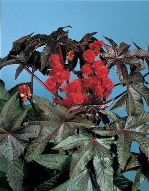 Castor Bean, 'Carmencita Bright Red'