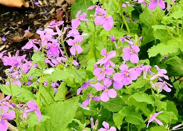 Cress, Chinese Violet