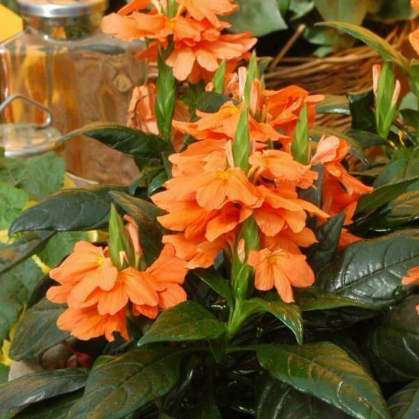 Crossandra, Orange
