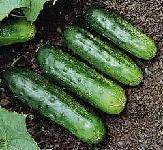 Cucumber, Pickling, 'Arkansas Little Leaf'