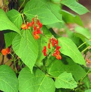 Easy Seeds: Bean, Scarlet Runner