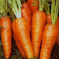 Easy Seeds: Carrot 'Chantenay Red Core'
