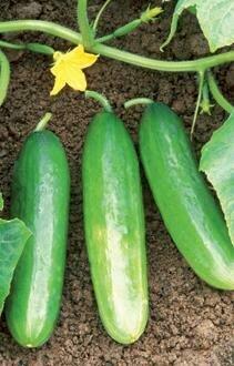 Easy Seeds: Cucumber, 'Bush Pickle'