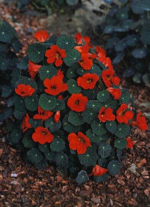 Easy Seeds: Nasturtium, Mounding, 'Empress of India'