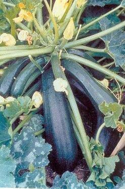 Easy Seeds: Squash, Zucchini 'Spacemiser'