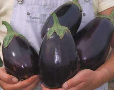 Eggplant, 'Black Beauty'
