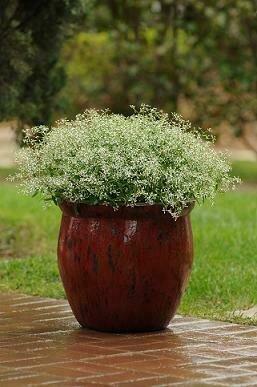 Euphorbia, 'Glitz'