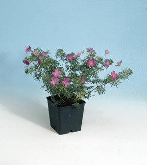 Geranium, Hardy, 'New Hampshire Purple'