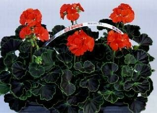 Geranium, Zonal, 'Black Velvet Red'