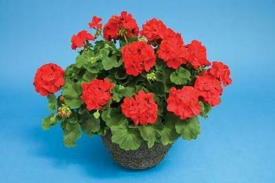 Geranium, Zonal, Calliope® Scarlet