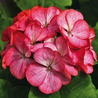 Geranium, Zonal, Maverick™ Red