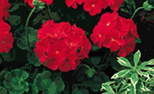 Geranium, Zonal, Pinto™ Deep Red