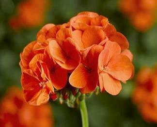Geranium, Zonal, Pinto™ Premium Orange