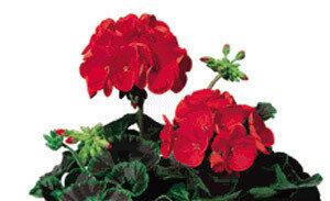 Geranium, Zonal, Ringo 2000™ Scarlet Star