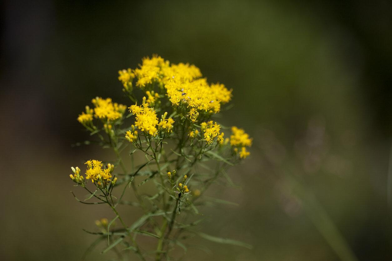 Goldenrod, Flat-Top Fragrant